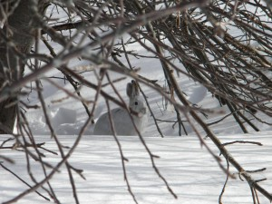 Snowshoe hare March19 2015 at 10am (4)