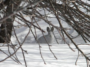 Snowshoe hare March19 2015 at 10am (5)