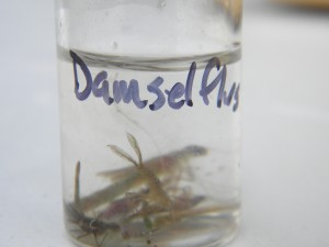 Sorting invertebrates by order. These damselfly nymphs belong to the order Odonata.
