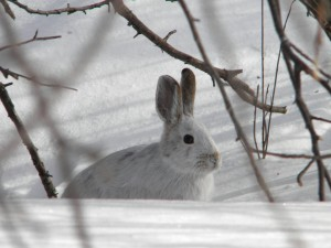 Snowshoe hare March19 2015 at 10am (1)